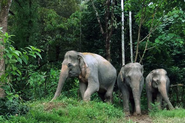 Elephant walk through the jungle together at ethical elephant sanctuary near Chiang Mai in Thailand