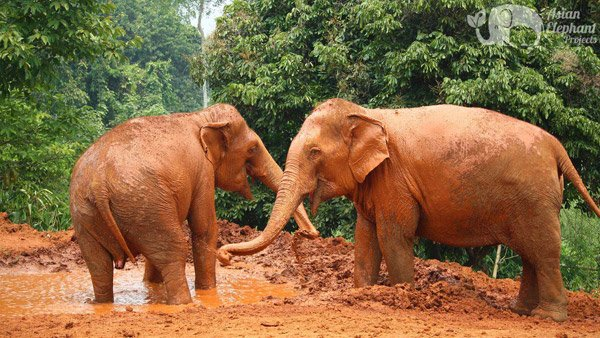 Elephants playing in the mud at Save Thai Elephant Park ethical elephant sanctuary