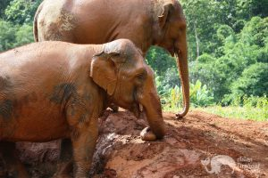 elephants play in the mud at Elephant Refuge