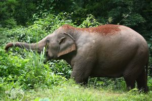 elephant foraging in jungle Thailand