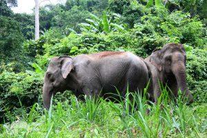 elephant tour chiangmai