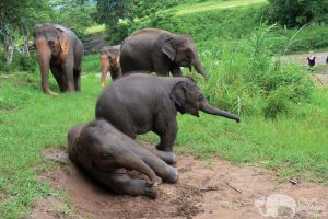 young elephants play together in Thailand