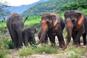 Herd of elephants at elephant sanctuary chiang mai
