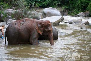 Thai elephants in river