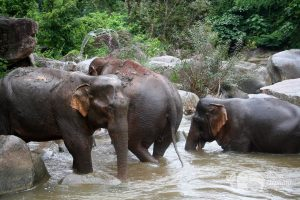 Elephant herd plays in the river Thailand