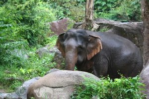 Elephant Pride ethical elephant tour