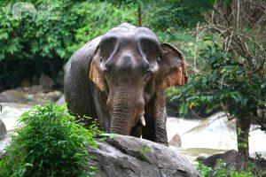 bull elephant at Elephant Pride ethical tour