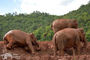 elpehant play in the mud at elephant sanctuary