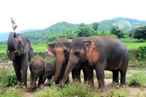 Herd of elephants at Asian Elephant Projects