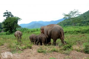 Elephant family at ethical elephant tour