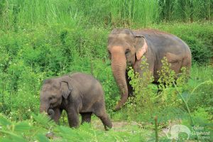 elephant mother with baby Thailand