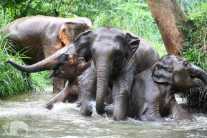 elephant playig in the stream at elephant tour chiang mai