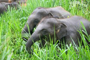Elephants grazing at ethical elephan tour