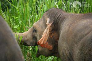 Elephant grazes at elephant sanctuary thailand