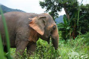 lovely Asian elephant