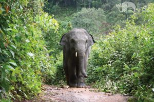 Walking with elephants in chiang mai thailand
