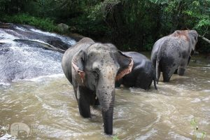 Elephants bathing at waterfall in Thailand