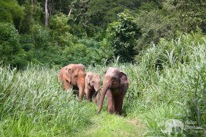 Chiang Mai elephant tour by Asian Elephant Projects