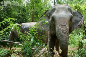 Thai elephant in the jungle