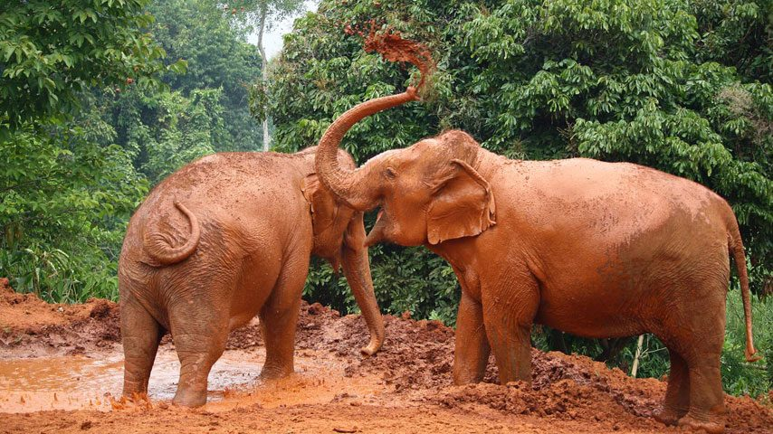 Elephannts retired from elephant riding playing in the mud at ethical elephant tour in Thailand
